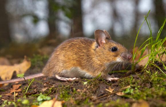 Eliminare i topi senza veleni